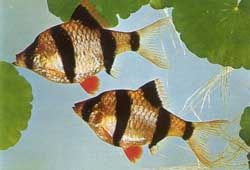Суматранский барбус (Barbus tetrazona)