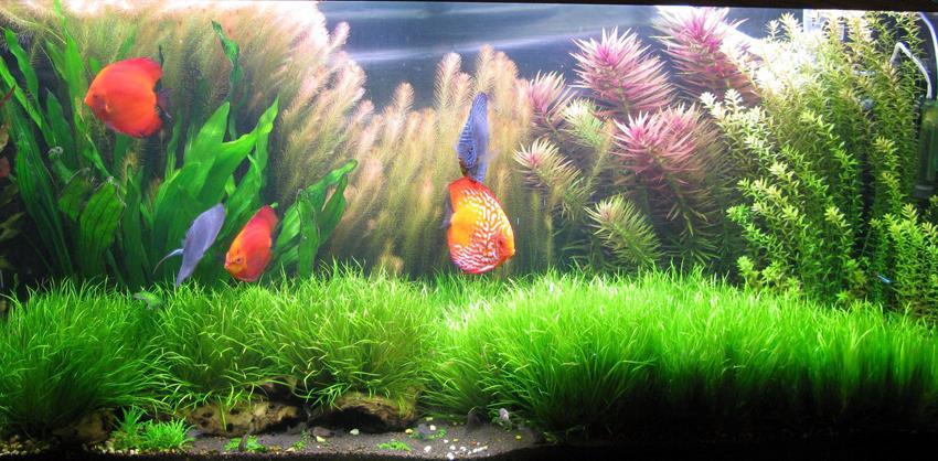 Аквариум с дискусами и растениями
