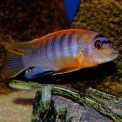 Лабидохромис кимпума рэд labidochromis spec