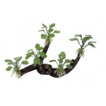 ArtUniq Branched Driftwood with Anubias nana M6